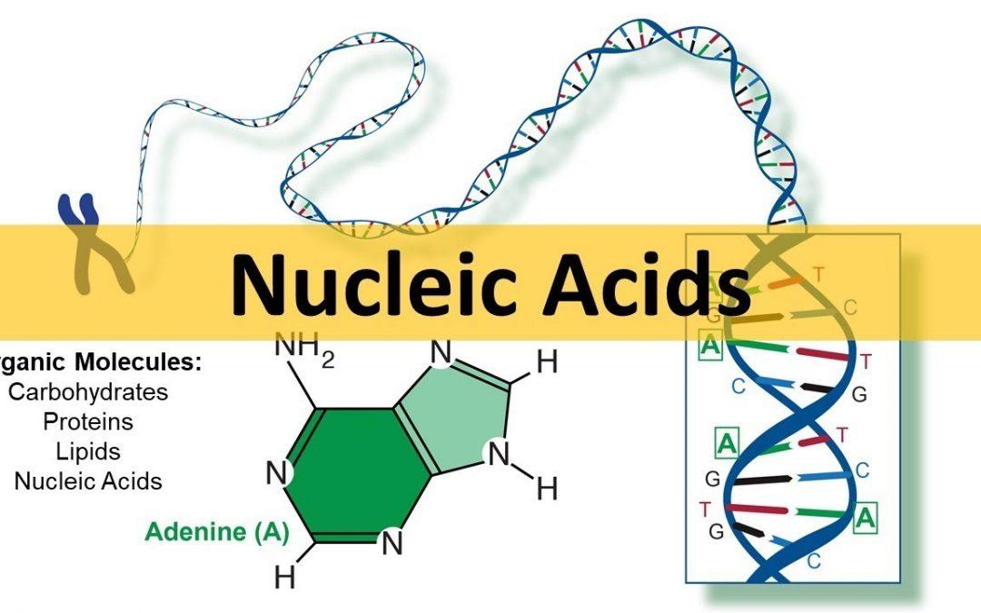 Nucleic Acids – The Macromolecule