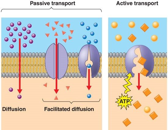 Transportation in Cells