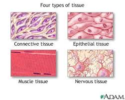 Types of Tissues and Transgenics