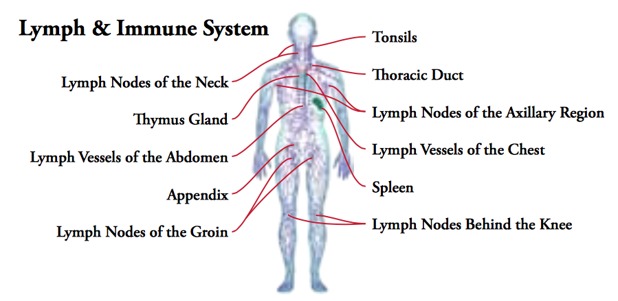 Lymphatic System and Immune Response
