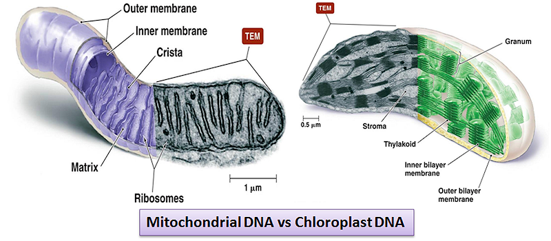 Comparing Mitochondria and Chloroplasts